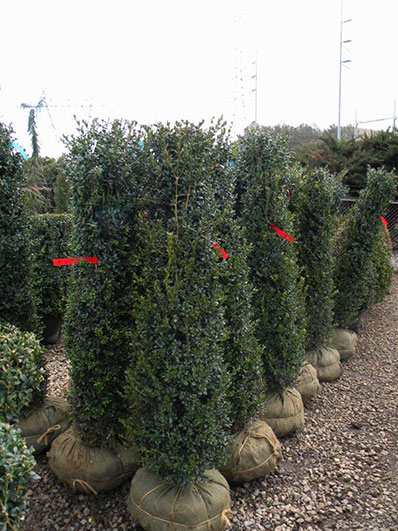 BUXUS NEWPORT BLLUE COLUMNAR 4 and 5